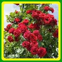 Роза вьющаяся красная Нахеглут ( саженцы )