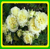 Роза вьющаяся белая Эльф ( саженцы )