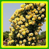 Роза вьющаяся желтая Голдштерн ( саженцы )