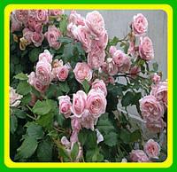 Роза плетистая Нахема  Nahema ( саженцы )