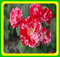 Роза плетистая Твист (Twist) ( саженцы )