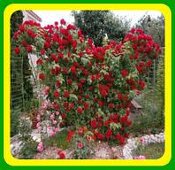 Роза Фламентанц (Flammentanz)  ( саженцы )