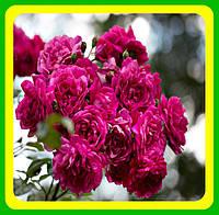 Роза вьющаяся малиновая Лагуна ( саженцы )