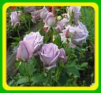 Роза вьющаяся Индиголетта ( саженцы )