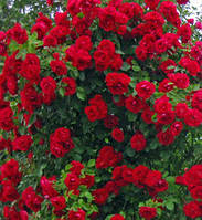 Роза плетистая Нахеглут