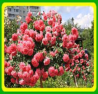 Роза вьющаяся Розариум Ютензен ( саженцы )