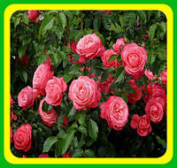 Роза вьющаяся Росалин ( саженцы )