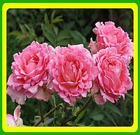 Розы -Флорибунда Санта Моника  ( саженцы )