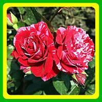 Розы -Флорибунда Дип Импрешн  ( саженцы )