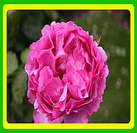 Розы -Флорибунда Ив Пежо  ( саженцы )