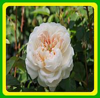 Розы -Флорибунда Глемис Касл ( саженцы )