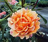 Роза Polka 91 саджанець відправка вересень, фото 2