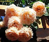 Роза Polka 91 корень ОКС, фото 3