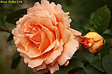 Роза Polka 91 корень ОКС, фото 4