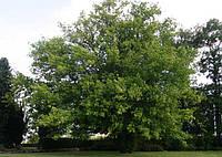 Татарский клен  саженец 50-70 см