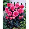 Бегония клубневая бахромчатая розовая