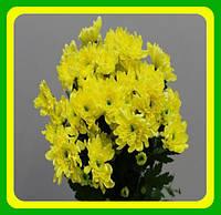 Хризантема ранняя сорт Балтика желтая ( укорененные черенки)