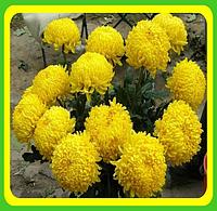 Хризантема ранняя сорт Кремис желтый ( укорененные черенки)