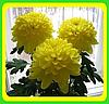 Хризантема ранняя сорт Зембла желтая( укорененные черенки)