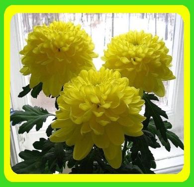 Хризантема ранняя сорт Зембла желтая( укорененные черенки), фото 2