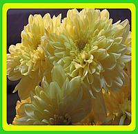 Хризантема ранняя сорт Зембла кремовая ( укорененные черенки)