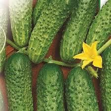 Семена огурца сорт Кайтек  F1 5 гр
