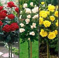 Роза на штамбе в ассортименте