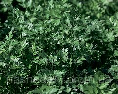 Семена петрушки Фелиция 10 грамм Rijk Zwaan