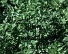 Семена петрушки Фелиция 50 грамм Rijk Zwaan