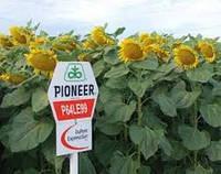 Семена подсолнечника  Пионер P64LE99