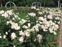 "Саженцы плетистых роз ""Гранд Могюл"""