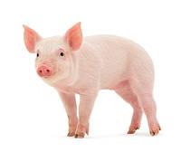 Для свиней і поросят