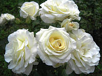 """Саженцы плетистых роз """"Шнеевальцер"""""""