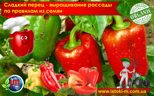 как вырастить рассаду сладкого перца_органические удобрения для рассады сладкого перца_подкормка рассады сладкого перца