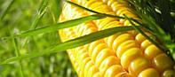 Семена Кукуруза Любава 279 МВ