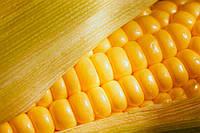 Кукуруза семена Кадр 267 МВ