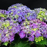 Гортензия крупнолистная Curly Sparkle Blue Purple (Керли Спаркле Блу Пурпле)