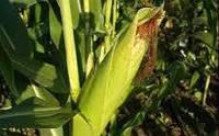 Кукуруза  семена Днипровский 257 СВ
