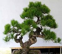 Семена карликовых деревьев Бонсай: 30 шт.!