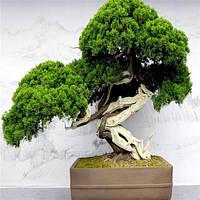 Семена карликовых деревьев Бонсай: 50 шт.! Разновидность 1!