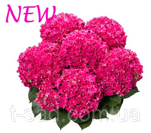 Гортензія крупнолистная Curly Sparkle Hot Pink (Керлі Спарк Хот Пінк) 3год