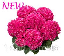 Гортензия крупнолистная Curly Sparkle Hot Pink (Керли Спарк Хот Пинк)гор.С2