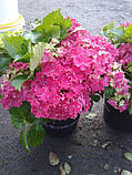 Гортензія крупнолистная Curly Sparkle Hot Pink (Керлі Спарк Хот Пінк) 3год, фото 2