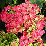 Гортензія крупнолистная Curly Sparkle Hot Pink (Керлі Спарк Хот Пінк) 3год, фото 4