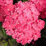 Гортензія крупнолистная Curly Sparkle Hot Pink (Керлі Спарк Хот Пінк) 3год, фото 5