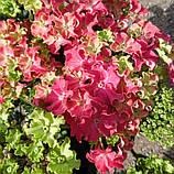 Гортензія крупнолистная Curly Sparkle Hot Pink (Керлі Спарк Хот Пінк) 3год, фото 6