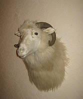Чучело головы горного барана, фото 1