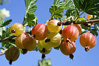 Плодовые кустарники, фото 1