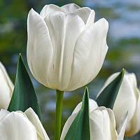 Луковичные растения Silver Dollar (триумф)