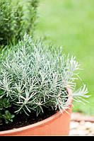 Рассада (Карри) Helichrysum Italicum Aladin
